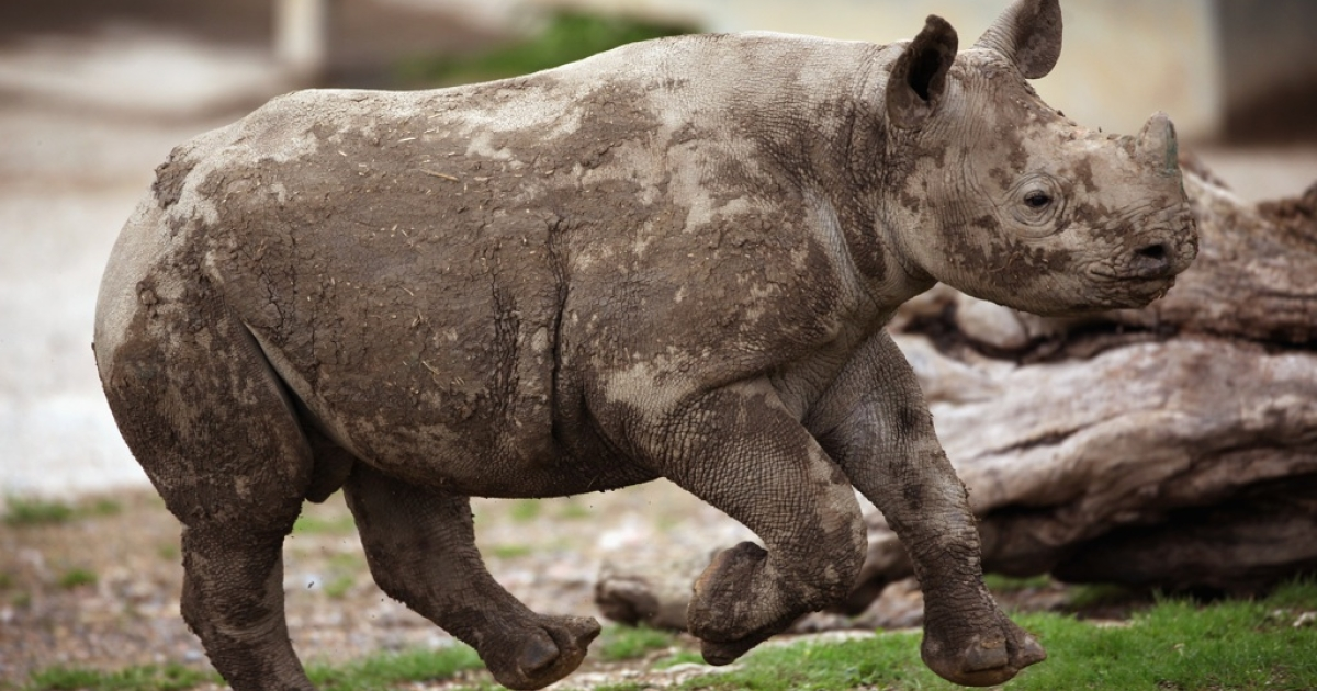A 6-month-old Black Rhino calf plays in its enclosure at Lympne Wild Animal Park on June 21, 2011, in Hythe, England.</p>