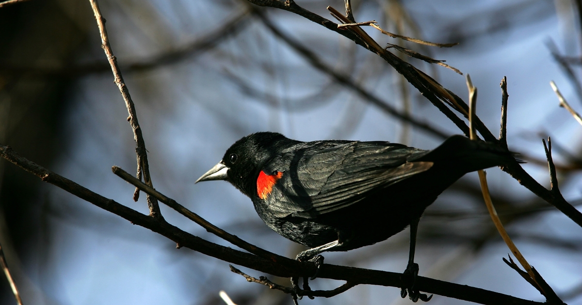 A red-winged blackbird perches in the charred branches of a wildfire-burned tree near Gorman, Calif., on May 18, 2007.</p>