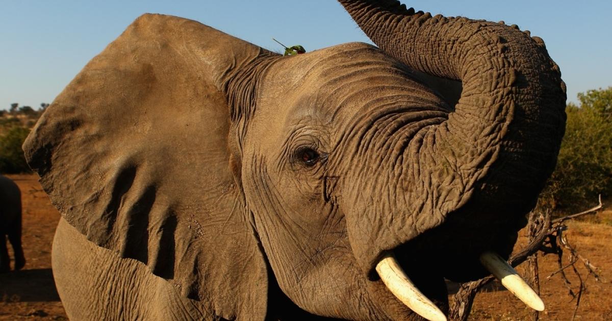 Elephant in Botswana.</p>