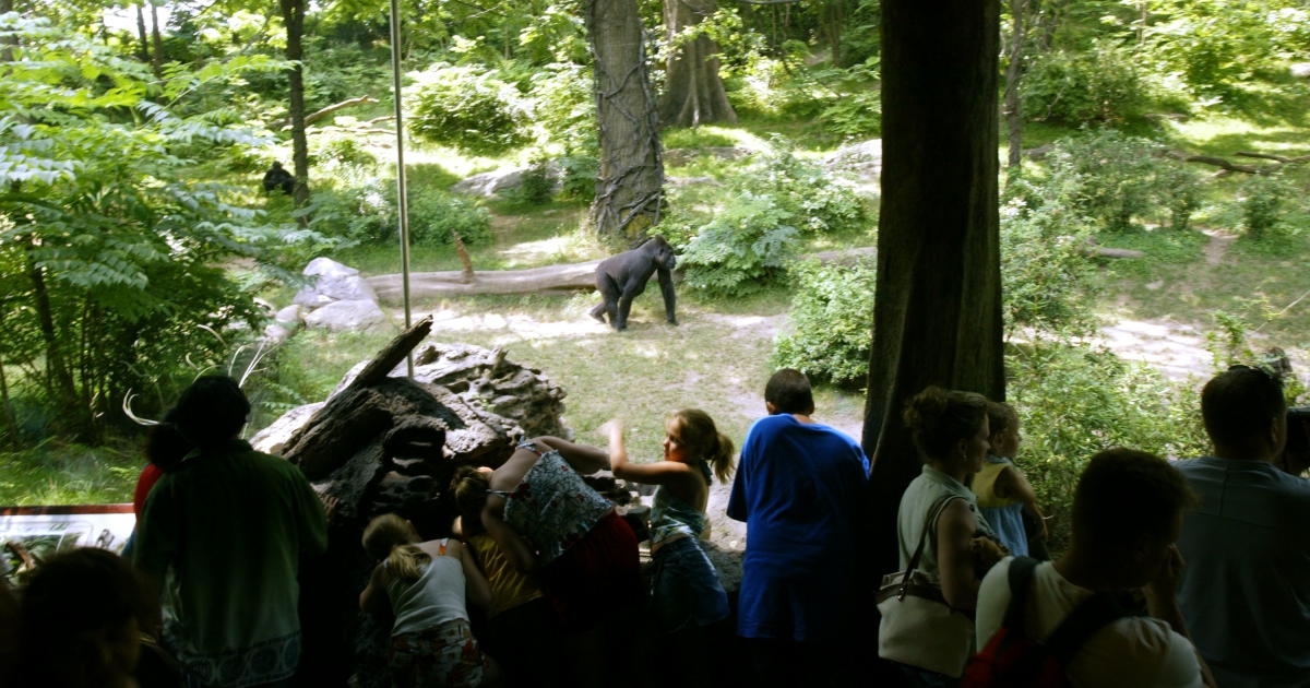 People look at lowland gorillas in the Bronx Zoo's Congo Gorilla Forest exhibit on July 8, 2003.</p>