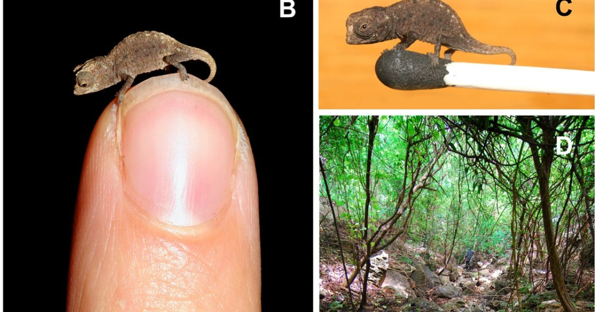 Brookesia micra chameleons live in the remote forests of Madagascar. The juveniles are small enough to fit on the head of a match.</p>