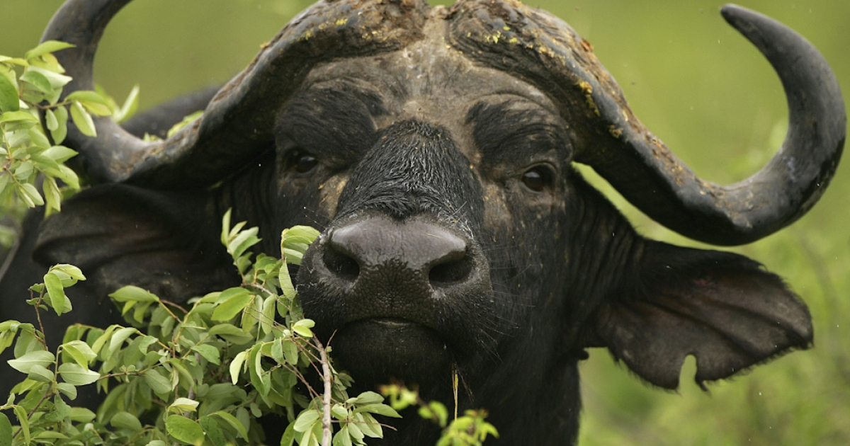 A male Cape buffalo pictured in the Kruger National Park in Mpumalanga, South Africa.</p>
