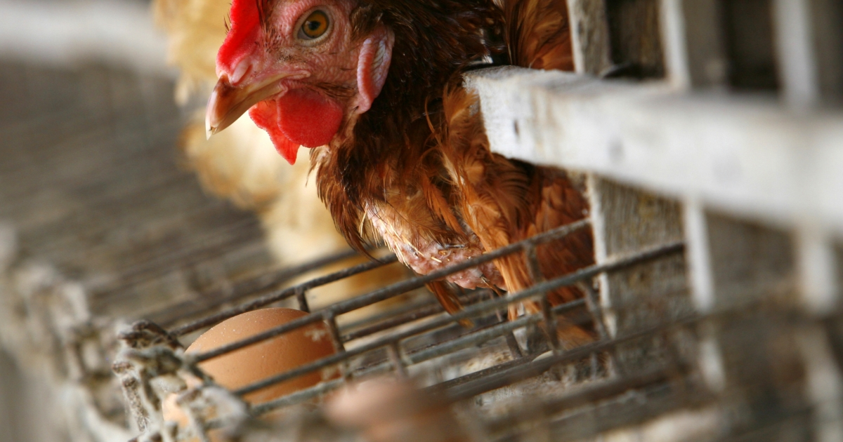 Authorities in Mexico have announced that over 582,000 chickens have been hit by a bird flu outbreak.</p>