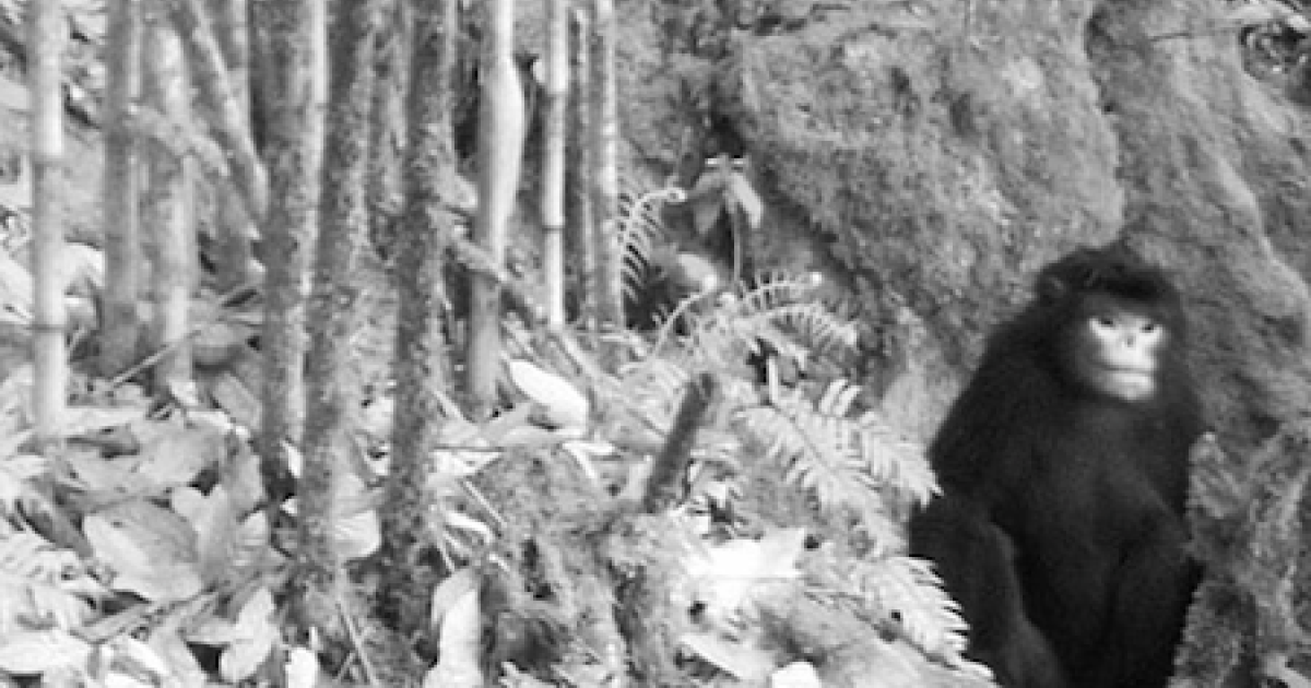 This rare motion-sensor camera snapshot of a snub-nosed Burmese monkey, assumed extinct, was circulated by the group Flora and Fauna International.</p>
