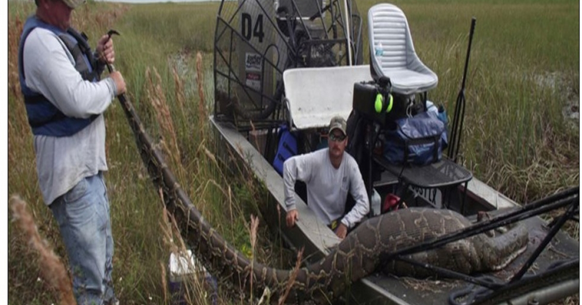 This Burmese python was captured and killed in the Everglades after it gulped down a 76-pound deer.</p>