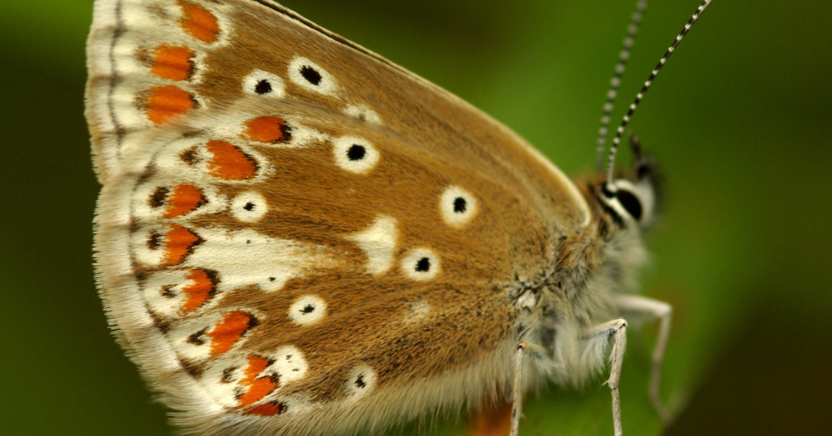 Climate change has helped a rare British butterfly, the Northern Brown Argus, to expand its reach.</p>