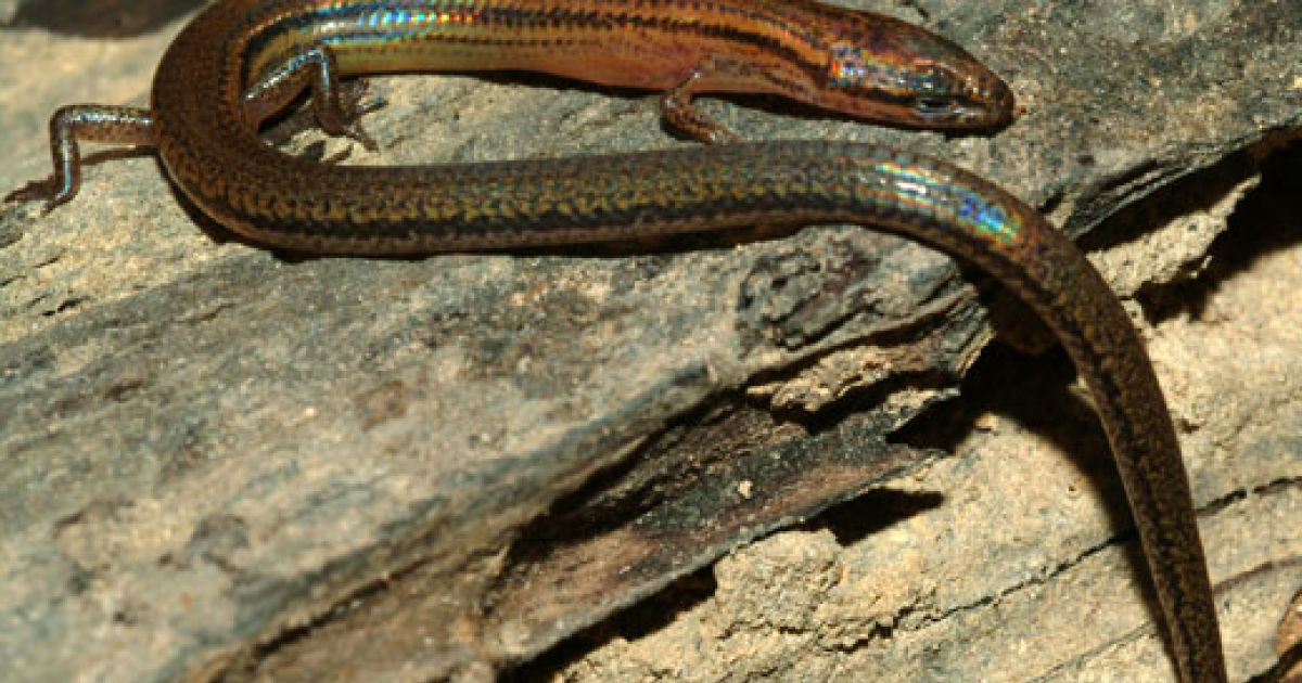 This rainbow-colored lizard (Lygosoma veunsaiensis) was recently discovered in Cambodia.</p>
