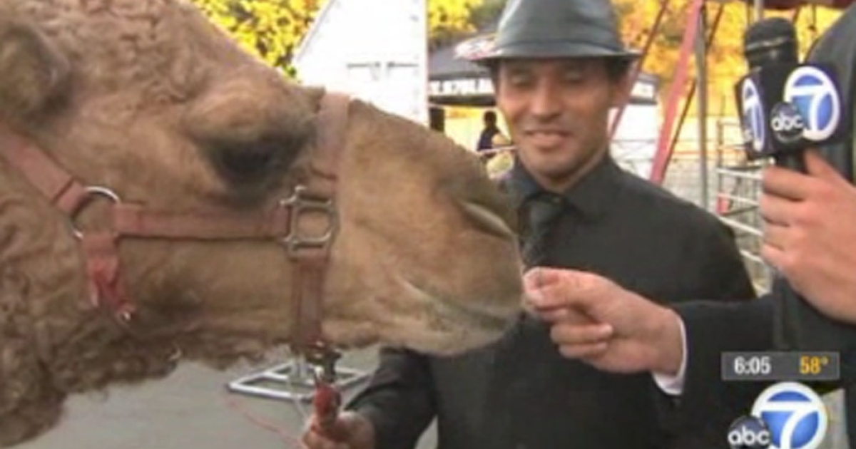 Atula the camel greets adoring Los Angeles media after escaping from the Ramos Bros. Circus in California on Friday, November 24, 2012.</p>