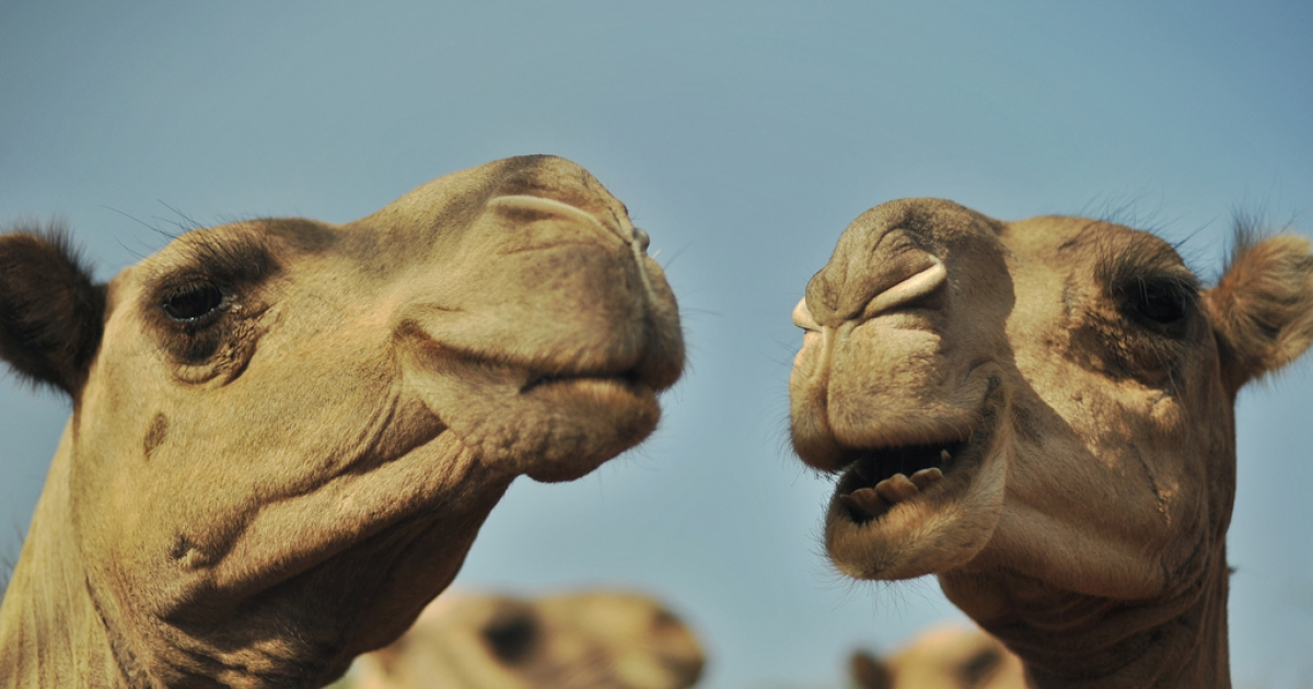 The Somali militant group al-Shabab, affiliated with Al Qaeda, offered a reward of 10 camels for the location of President Obama's