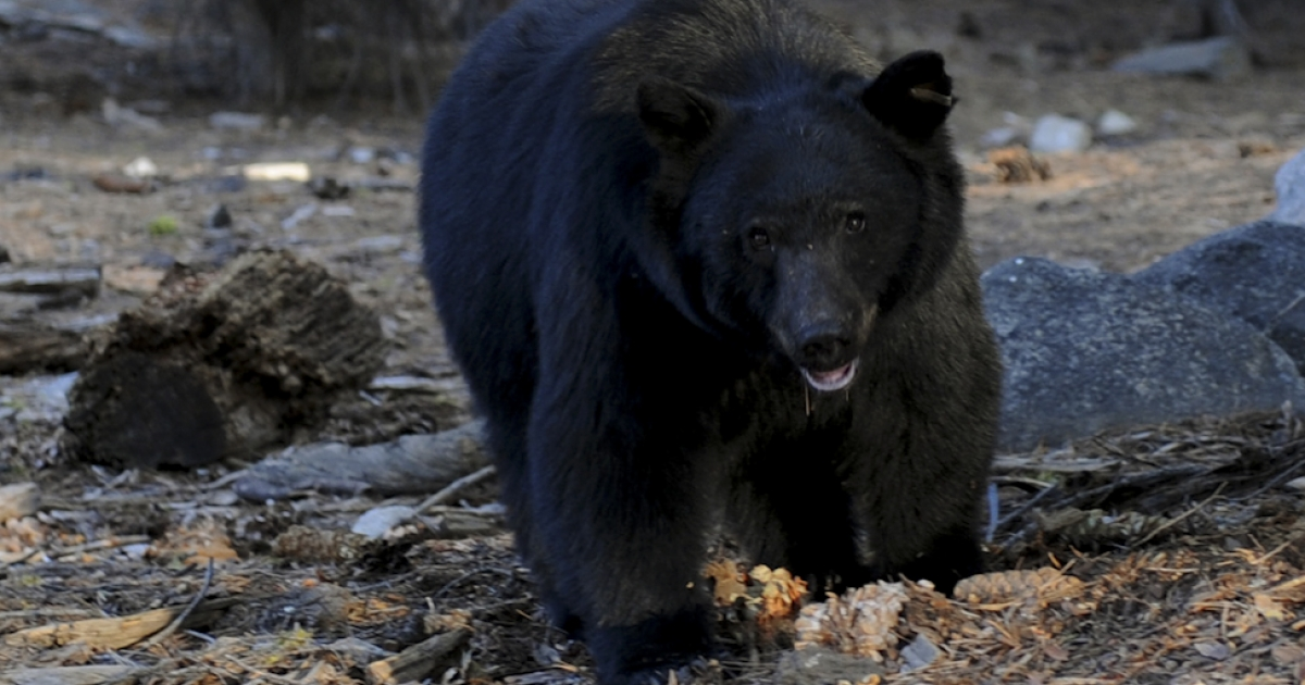 A black bear scavenges for food. Two Canadians died instantly when a car hit a 440-pound black bear and sent it flying through the windshield of their SUV.</p>