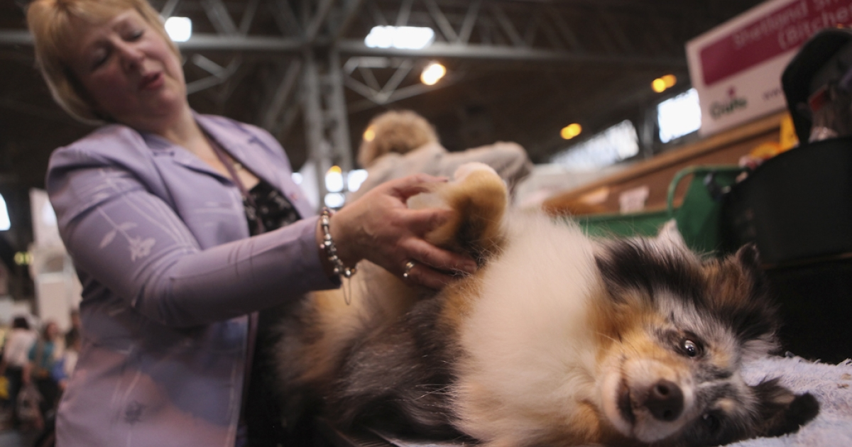 A woman grooms her Shetland Sheepdog on the second day of the annual Crufts dog show at the National Exhibition Centre on March 11, 2011 in Birmingham, England.</p>