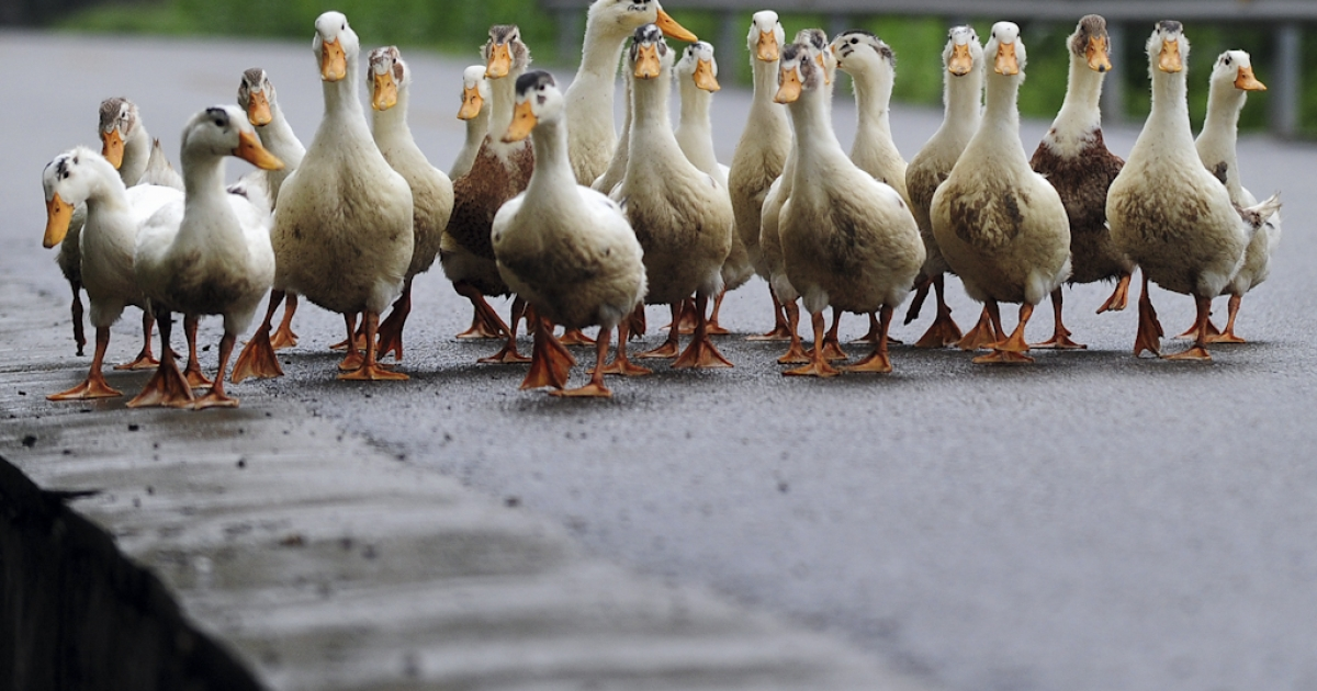 Ducks on a road. Maybe don't pull over to watch them.</p>