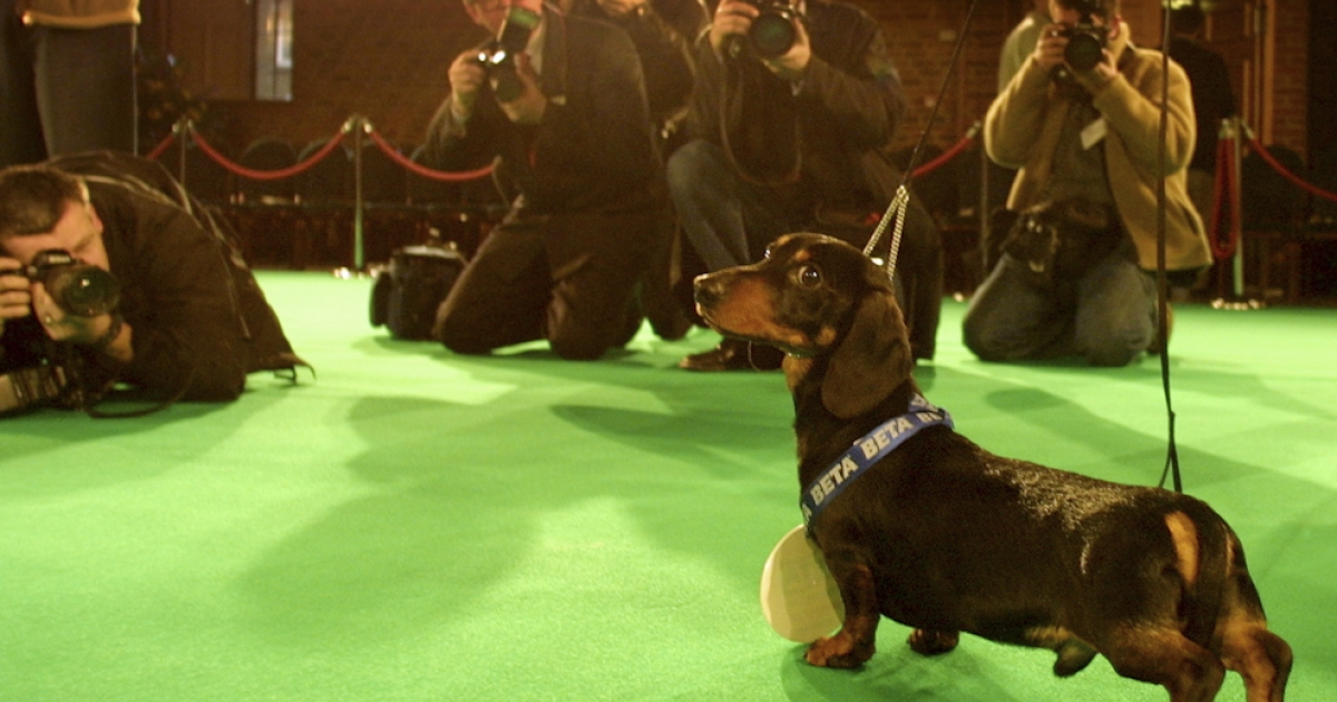 Pup of the year meets the press: 17-months-old Stanley, a Dachsund (aka