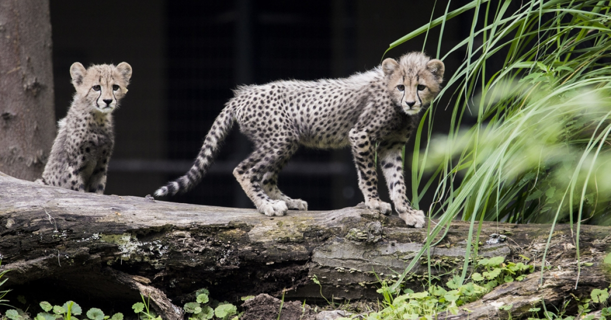 Three-month old cheetah cubs make their public debut at the Smithsonian National Zoo on July 24, 2012 in Washington, DC.</p>