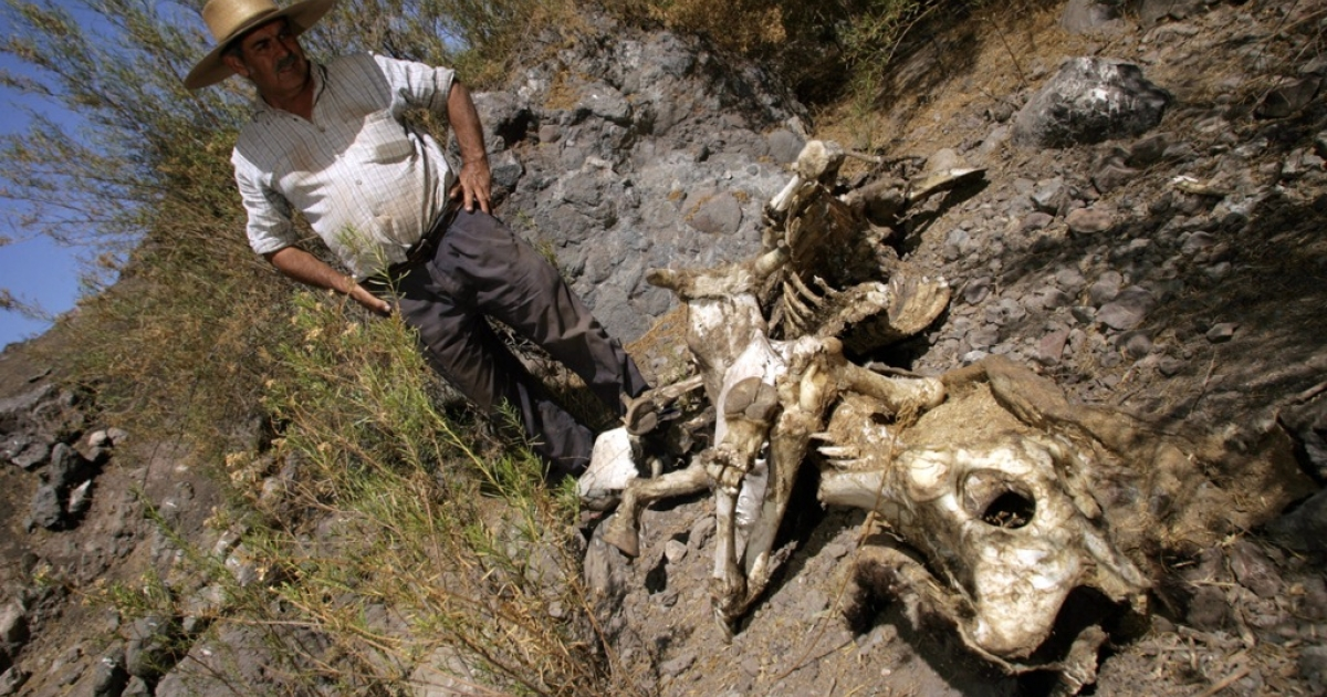 Peasant Segundo Aballay looks at the carcass of a cow in Til Til, an agricultural municipality 50 km north of Santiago, in the province of Chacabuco. Animals in central and southern Chile are dying for the lack of water and forage.</p>