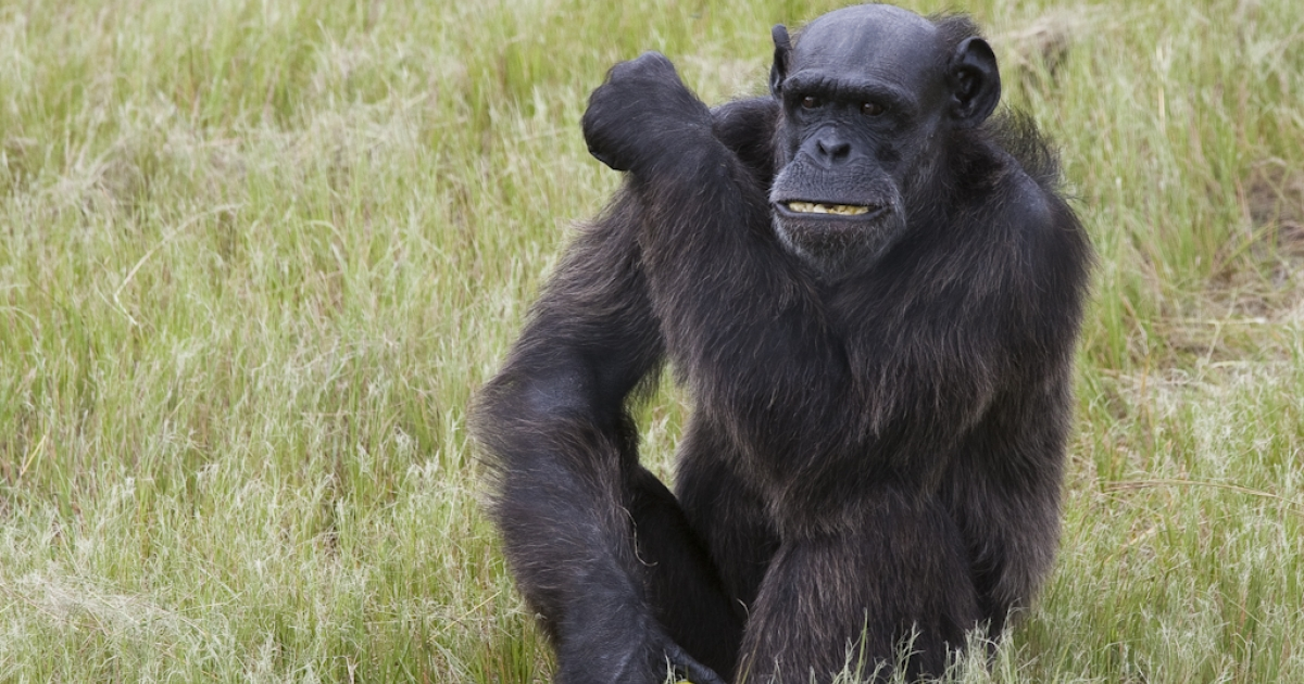 A chimpanzee at Jane Goodall's Chimp Eden sanctuary in South Africa.</p>
