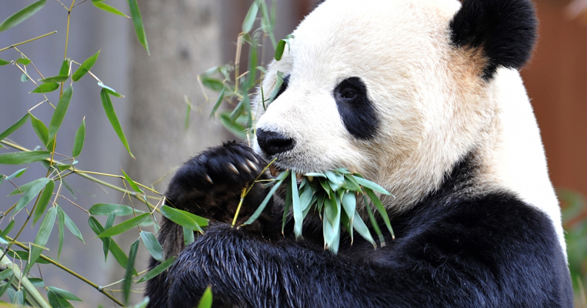 Giant Panda Tian Tian has a bamboo snack Jan. 20, 2011 at the National Zoo in Washington, D.C. Washington and Beijing signed a new loan agreement, under which China is letting the giant pandas stay at the zoo for another five years.</p>