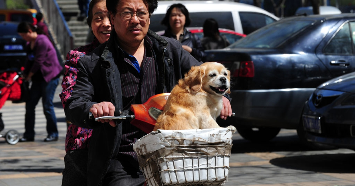 A dog rides in the basket of an electric bicycle in Beijing on April 18, 2011.</p>