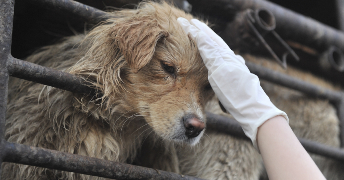 A Chinese animal lover consoles a dog after a convoy of trucks carrying some 500 dogs to be sold as meat, were stopped along a highway in Beijing on early April 17, 2011, and the dogs were later rescued to the China Animal Protection Association.</p>