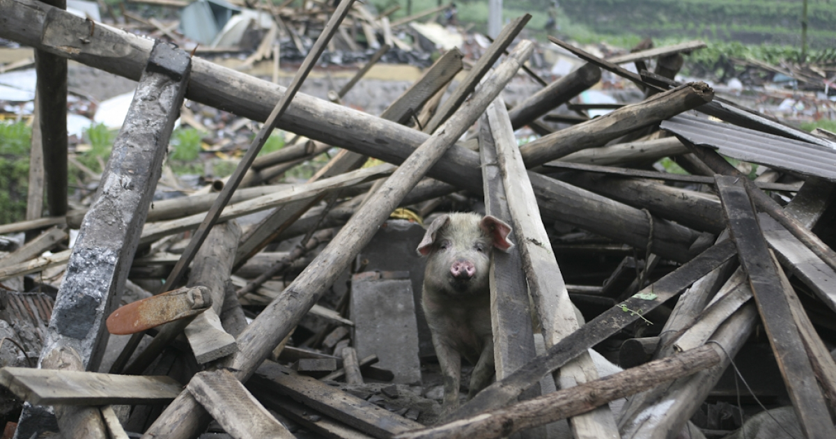 A pig looks out from the debris of a collapsed house in the aftermath of the May 12, 2008 earthquake that rocked China's Sichuan province. More than 90,000 people died or went missing in the 8.0 magnitude quake.</p>