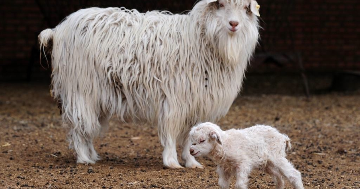 Chinese researchers are implanting human stem cell DNA into goats to experiment on treating human blood clotting disorders.</p>