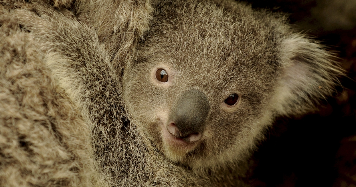 Sydney Wildlife World's new baby joey koala, 'Boonda,' clings to its mother 'Elle' on June 28, 2011. Koalas are under threat due to a shortage of suitable habitat from mass land clearance.</p>