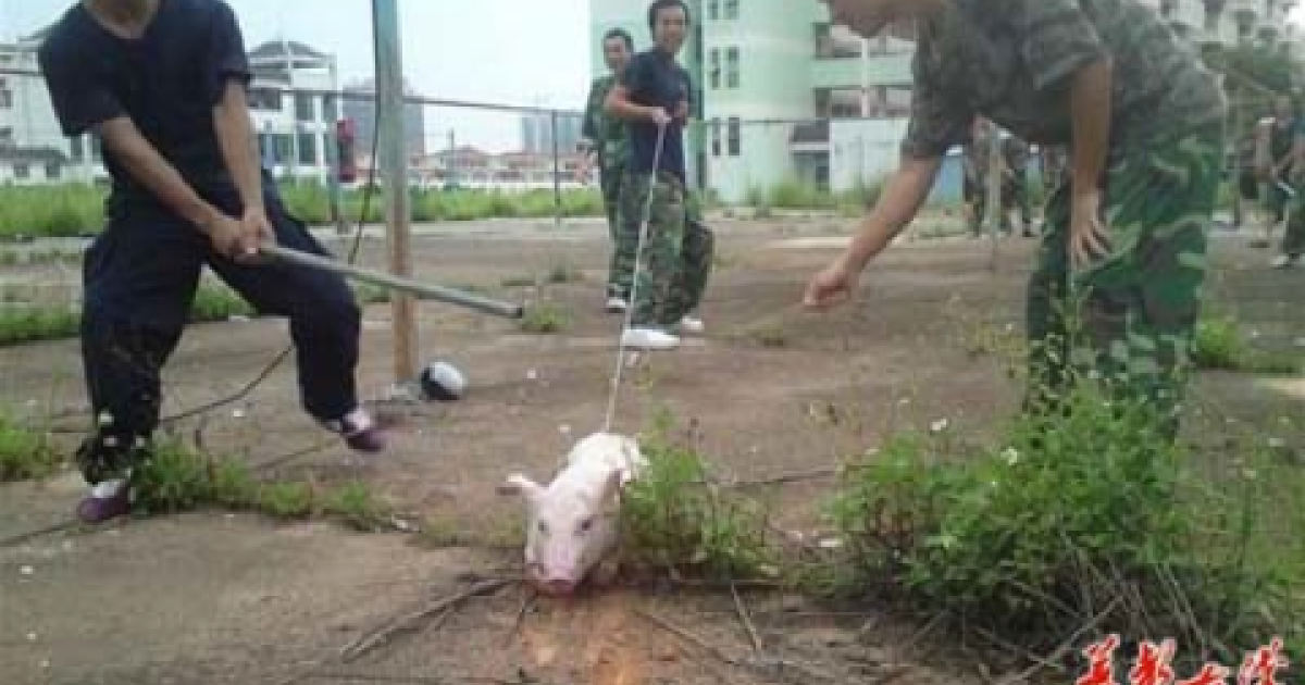 Young Chinese students claim photos of apparent pig torture are really just a