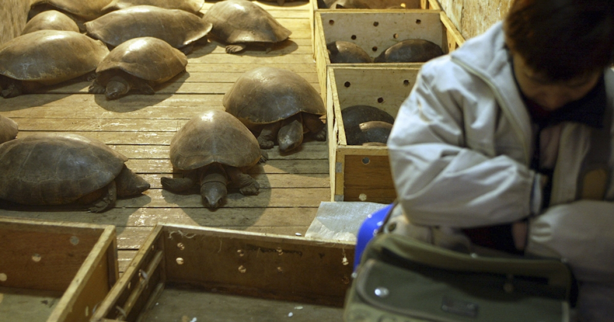 A pet tortoise named Manuela survived 30 years after being accidentally locked into a Brazilian family's shed. Here, a vendor sleeps next to giant tortoises being sold in China. The rare tortoises are around twenty years old and sell for $150 each.</p>