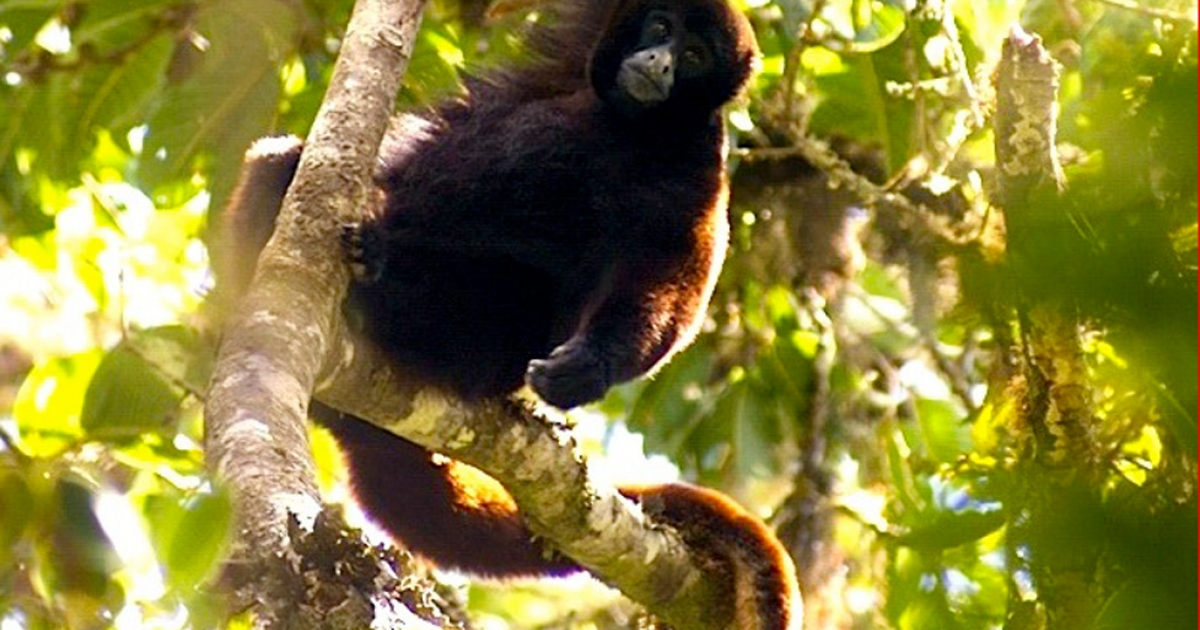The endangered yellow-tailed woolly monkey</p>