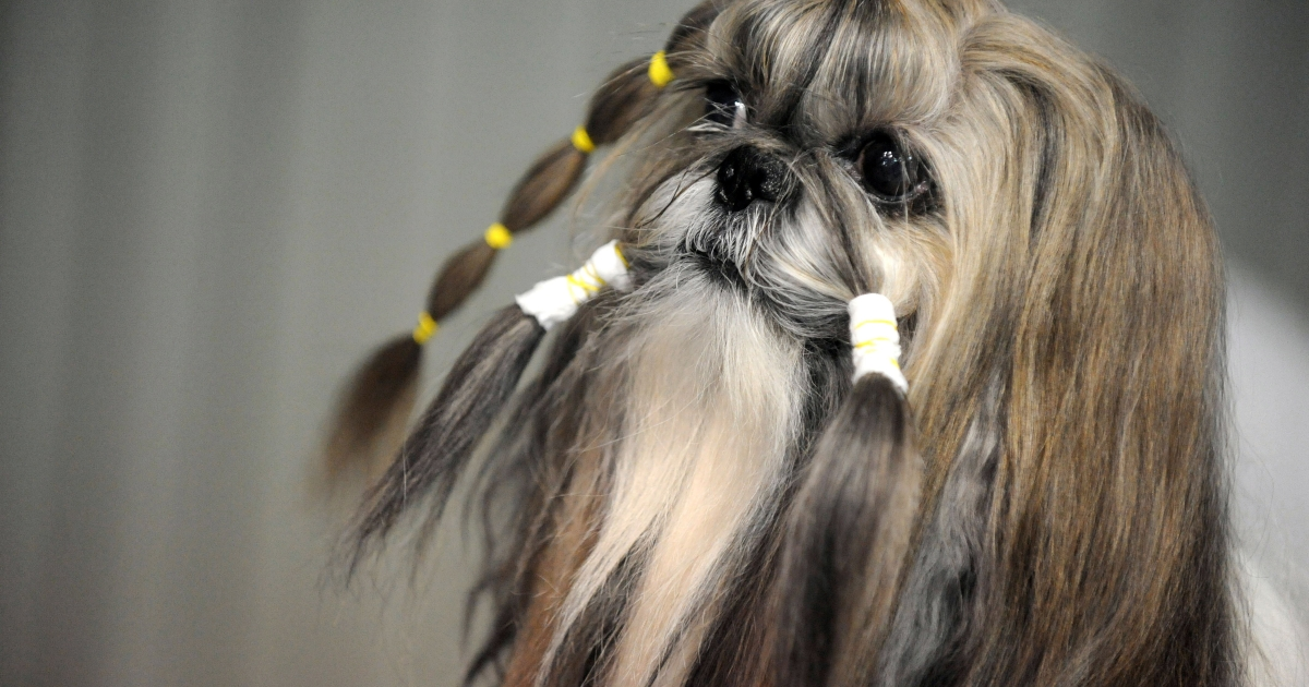 A Shih Tzu dog waits with bands in its hair during the XVIIIth International Dog exhibition in Prague in 2009.</p>