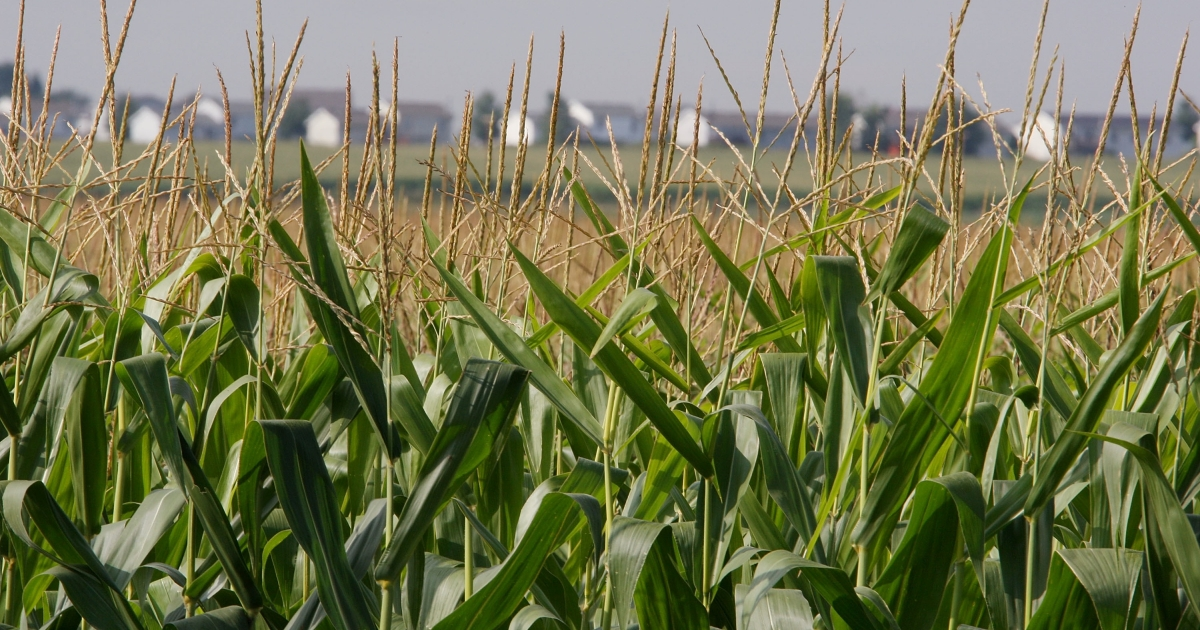 Corn grows in a field near Roscoe, Ill.</p>