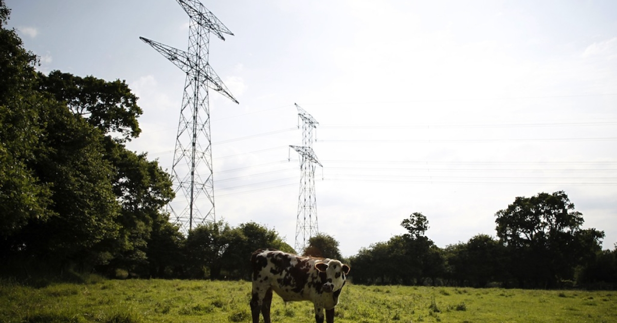 A picture taken on June 20, 2012 shows a cow in a field next to electricity poles in Percy, northwestern France.</p>