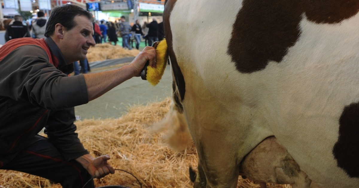 A farmer grooms a cow at on February 25, 2012.</p>
