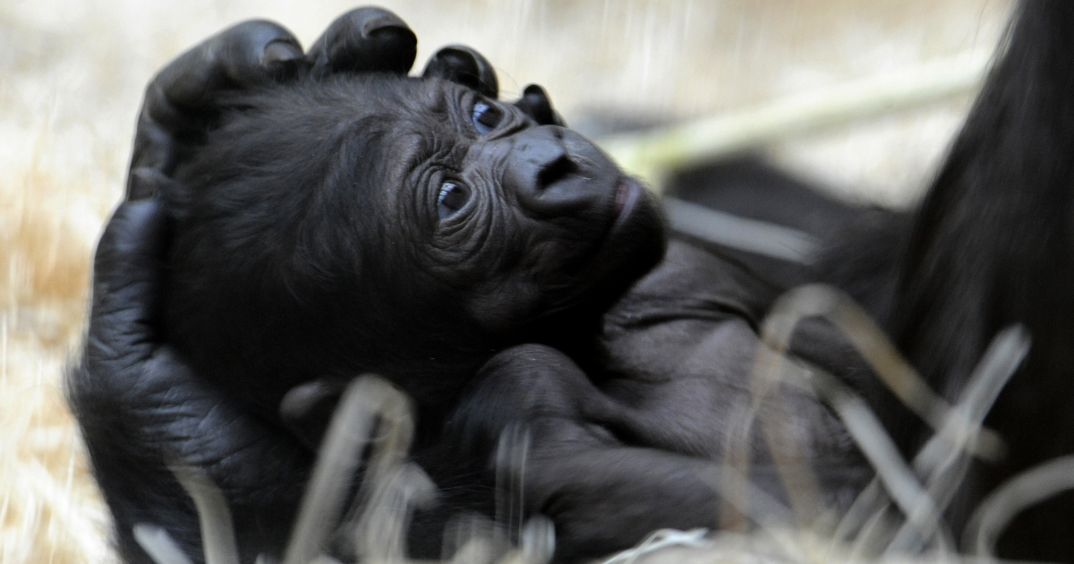Nine-day-old gorilla lays in the hand of its mother Kijivu at the Prague Zoo on May 3, 2010.</p>