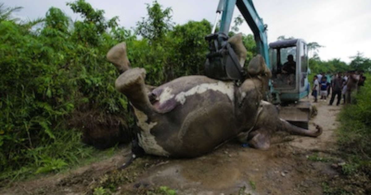 The dead body of a rare Sumatran elephant is buried along a road of a palm oil plantation in Indonesia's Aceh province after it was found dead on the road on April 30, 2012. Conflicts between humans and animals are increasing as people encroach on wildlife habitats in Indonesia, an archipelago with some of the world's largest remaining tropical forests.</p>