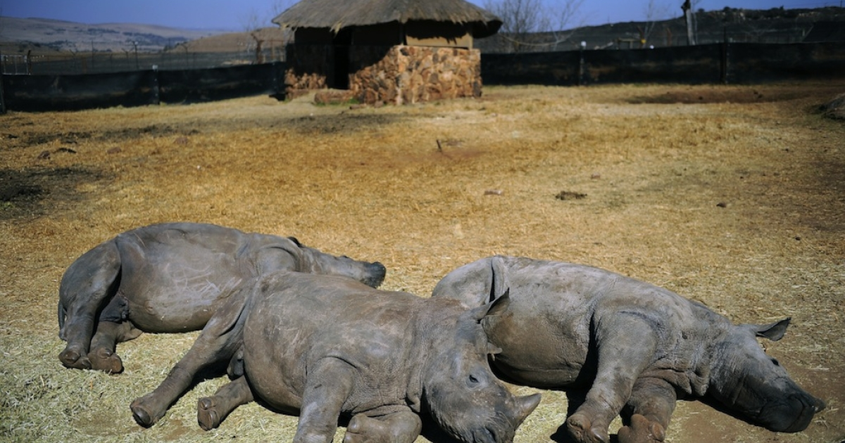 Nine-month-old rhinoceros called Vuma (C) rests with two others rhinoceros at the animal orphanage of Rhino and Lion Nature Reserve on July 21, 2010 in South Africa. The animal orphanage recently welcomed Vuma, who was orphaned after poachers hacked off his mother's horn and left her dead.</p>