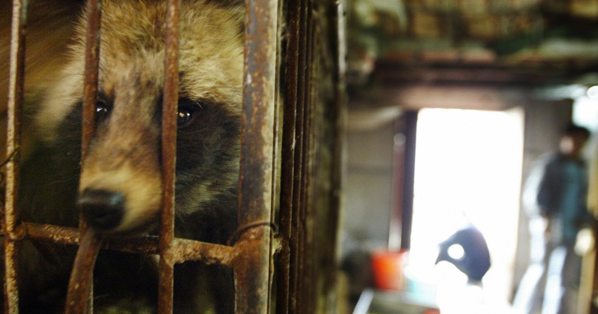 A raccoon dog destined for the dinner table looks out of its cage in Xin Yuan wild animal market in the southern Chinese city of Guangzhou in 2004.</p>