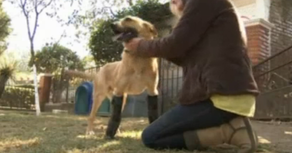 A dog that was tortured and mutilated by Mexican drug traffickers gets a new lease on life with prosthetic legs.</p>