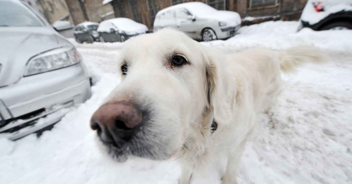 Dogs may be able to walk on snow because of a unique internal heating system, Japanese scientists have discovered.</p>