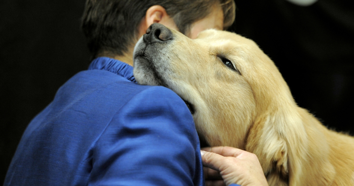A team of golden retrievers have arrived in Newtown, Connecticut, to help those grieving after a shooting rampage on Friday killed 27 people, most of them young children. Here, a golden retrievers and handler during a New York dog show on February 14, 2012.</p>