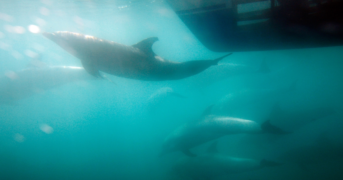 A person inside an underwater viewing pod in the hull of a catamaran watches bottlenose dolphins off the southern California coast on January 30, 2012 near Dana Point, California. Dolphins of a different variety, the common dolphin, have been getting stranded by the dozens on the shores of Cape Cod over the last month, and over 125 have died despite efforts to rescue them.  (Photo by David McNew/Getty Images)</p>