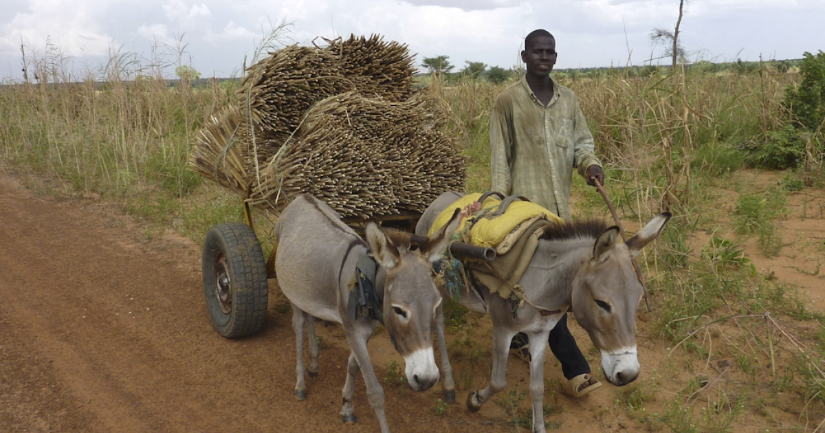Beasts of burden: a man and his donkeys.</p>