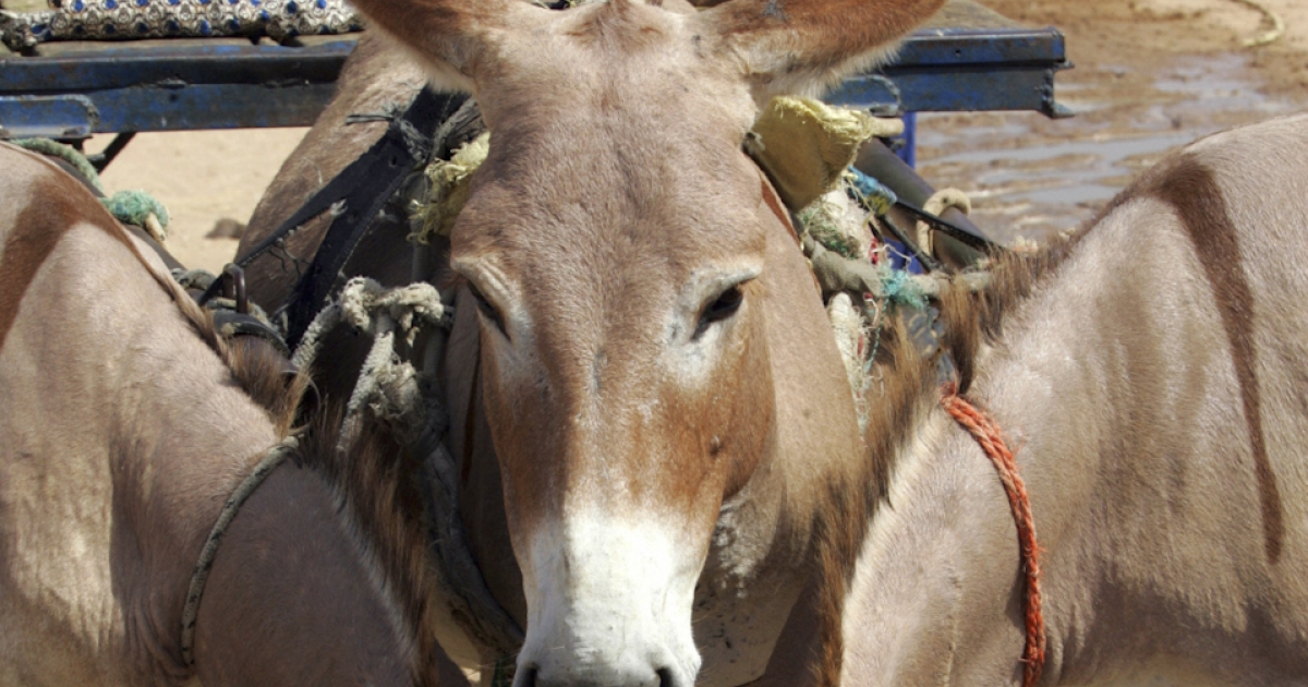 Drug mules?: South African police have arrested eight men accused of transporting marijuana by donkey from Lesotho, through the Drakensberg mountains and into South Africa.</p>