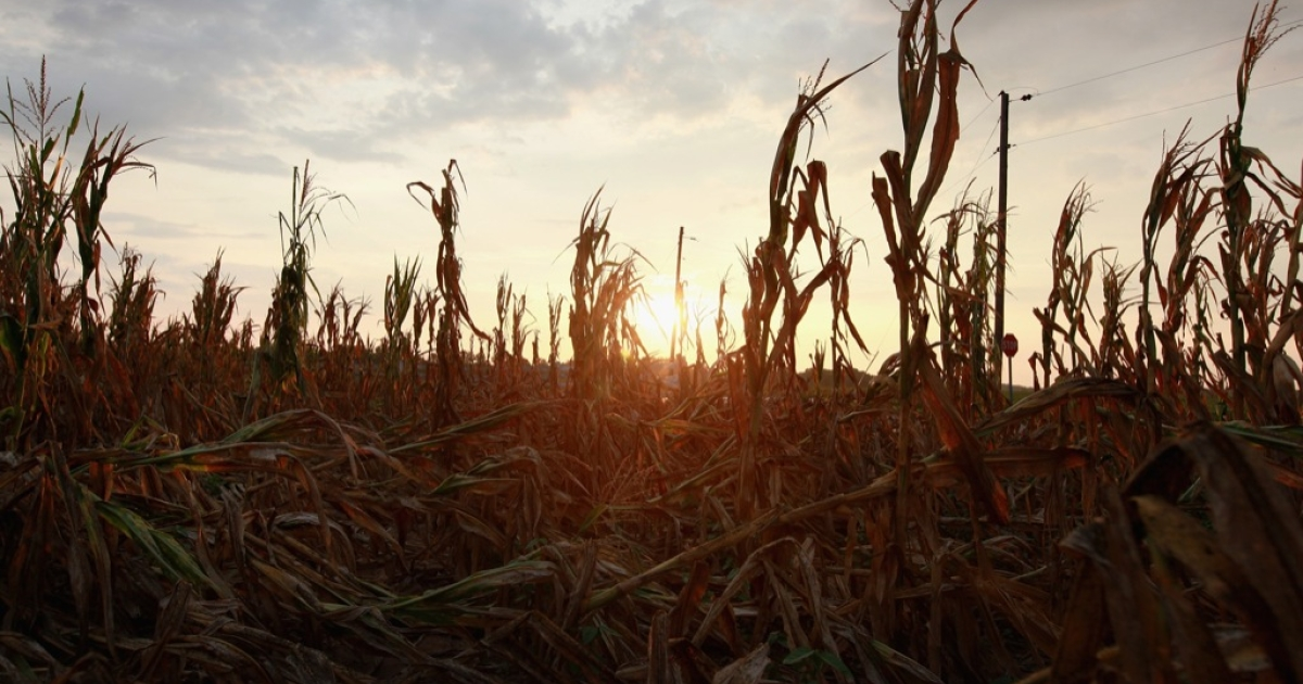 Corn plants dry in a drought-stricken farm field on July 17, 2012 near Fritchton, Indiana. The corn and soybean belt in the middle of the nation is experiencing one of the worst droughts in more than five decades. Indiana was the nation's fourth largest corn producer in 2011.</p>