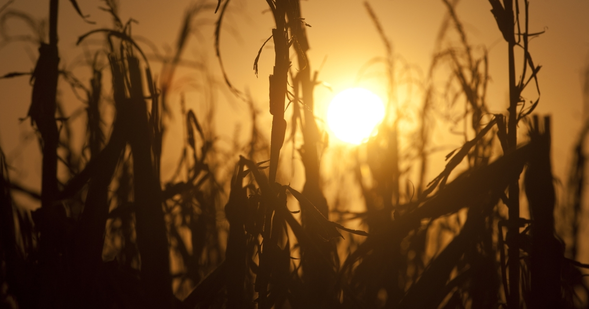 Severely damaged corn stalks due to a widespread drought are seen at sunset on a farm near Oakland City, Indiana, Aug. 15, 2012. Record heat throughout the US farm belt states have curtailed crop production and likely will send corn and soybean prices to record highs, according to the US Department of Agriculture.</p>