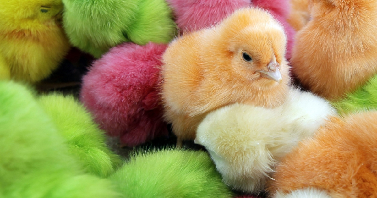 Chicks, that are dyed with artificial colors, are sold at a street market in Beirut on March 28, 2012, to celebrate the Christian occasion of Easter. Animal rights groups are protesting the repeal of a law that banned dyeing chicks in Florida.</p>