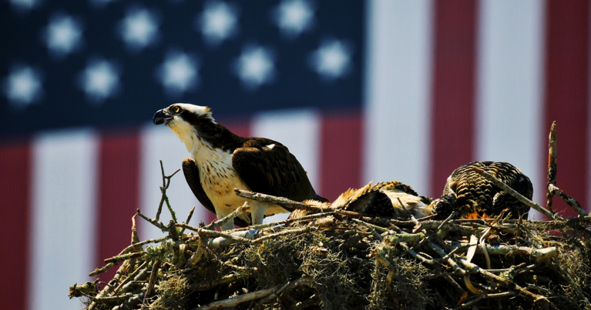 An Osprey eagle with three eaglets sits on their nest in front a US flag painted on the Vehicle Assembly Building at the John F. Kennedy Space Center April 28, 2011 in Cape Canaveral, Florida.</p>