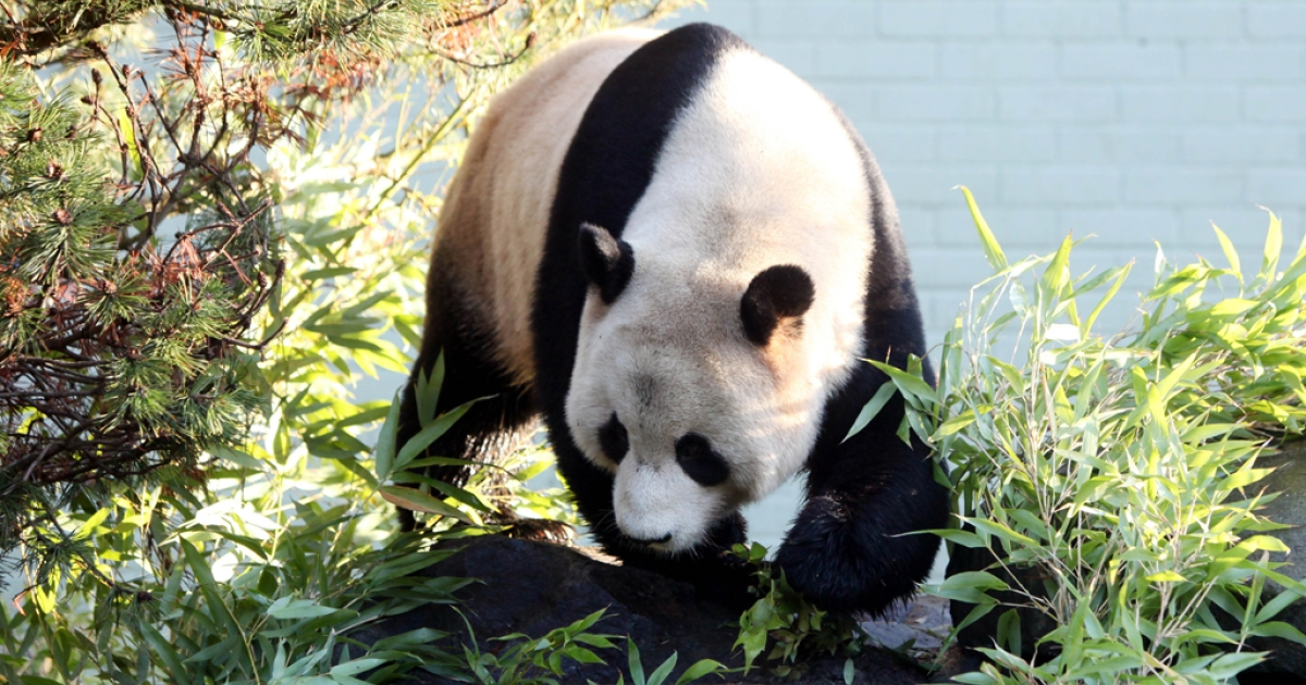 Male giant panda Yang Guang (Sunshine) walks in his enclosure at Edinburgh Zoo. The zoo's attempts to get him to mate with female panda Tian Tian failed during the critical 36-hour period on April 4, 2012.</p>