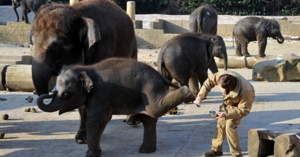 Elephants in captivity are becoming too inbred. Researchers hope insemination with frozen wild elephant sperm solves the problem. Here, a keeper cares for the sensitive skin of one-year old baby elephant Dinkar at the zoo in Hanover, central Germany, on January 31, 2012.</p>