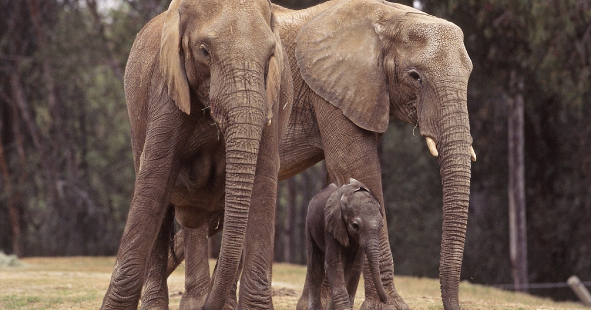 Elephants at San Diego Zoo's Safari Park. Umoya, a 21-year-old female, was fatally attacked by another elephant in the herd last month.</p>